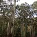 Eucalyptus viminalis viminalis - Photo (c) Wayne Martin, algunos derechos reservados (CC BY-NC)