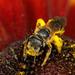 Abejas Negras del Sudor - Photo (c) cotinis, algunos derechos reservados (CC BY-NC-SA)