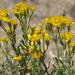 Ericameria cooperi - Photo (c) Jim Morefield,  זכויות יוצרים חלקיות (CC BY)