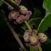 Glochidion philippicum - Photo (c) Liu JimFood, algunos derechos reservados (CC BY-NC)
