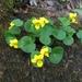 Viola biflora - Photo (c) mario bianco prevot, algunos derechos reservados (CC BY-NC)