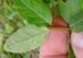 Shepherdia canadensis - Photo (c) Rob Curtis, algunos derechos reservados (CC BY-NC-SA)