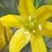 Triteleia crocea - Photo (c) solc, alguns direitos reservados (CC BY-NC)