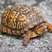 Tortugas de Fango - Photo (c) Ryan Jones, algunos derechos reservados (CC BY-NC)