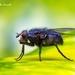 Calliphorinae - Photo (c) Marcello Consolo, alguns direitos reservados (CC BY-NC-SA)
