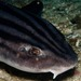 Pyjama Shark - Photo (c) Georgina Jones, some rights reserved (CC BY-SA)