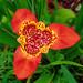 Tigridia pavonia - Photo (c) George Shepherd, alguns direitos reservados (CC BY-NC-SA)
