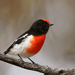 Red-capped Robin - Photo (c) David Cook, some rights reserved (CC BY-NC)