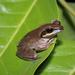 Polypedates maculatus - Photo (c) Brian Gratwicke, algunos derechos reservados (CC BY)