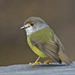 Pale-yellow Robin - Photo (c) Jerry Oldenettel, some rights reserved (CC BY-NC-SA)