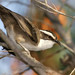 White-browed Babbler - Photo (c) David Cook, some rights reserved (CC BY-NC)