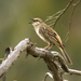 Cincloramphus mathewsi - Photo (c) David Cook, μερικά δικαιώματα διατηρούνται (CC BY-NC)