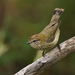 Striated Thornbill - Photo (c) David Cook, some rights reserved (CC BY-NC)