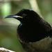 Ptiloris victoriae - Photo (c) David Cook, μερικά δικαιώματα διατηρούνται (CC BY-NC)