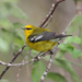 Blue-winged and Golden-winged Warblers - Photo (c) Jamie Chavez, some rights reserved (CC BY-NC)