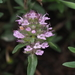 Eurasian Thyme - Photo (c) carnifex, some rights reserved (CC BY)