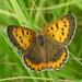 Bronze Copper - Photo (c) pondhawk, some rights reserved (CC BY)