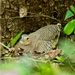Thicket Tinamou - Photo (c) Juan Bou Riquer, some rights reserved (CC BY-NC-SA)