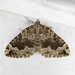 Black-banded Carpet - Photo (c) Jim Johnson, some rights reserved (CC BY-NC-ND)