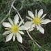Mentzelia multiflora - Photo (c) Jerry Oldenettel,  זכויות יוצרים חלקיות (CC BY-NC-SA)