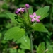 Variableleaf Collomia - Photo (c) dgreenberger, some rights reserved (CC BY-NC-ND)