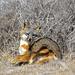 Santa Catalina Island Fox - Photo (c) Kiloueka, some rights reserved (CC BY-NC)