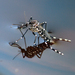 Asian Tiger Mosquito - Photo (c) Sean McCann, some rights reserved (CC BY-NC-SA)