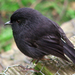 Chatham Robin - Photo (c) frances schmechel, some rights reserved (CC BY-SA)