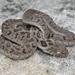 Dasypeltis scabra - Photo (c) Mike Richardson and Sarah Winch, algunos derechos reservados (CC BY-NC-ND)