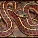 Coast Garter Snake - Photo (c) 1999 California Academy of Sciences, some rights reserved (CC BY-NC-SA)