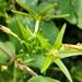Gonolobus suberosus - Photo (c) Alison Northup, algunos derechos reservados (CC BY)
