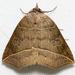 Isogona - Photo (c) Stott Noble, alguns direitos reservados (CC BY-NC)