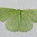 Synchlora - Photo (c) Stott Noble, some rights reserved (CC BY-NC)