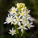 Deathcamas - Photo (c) Ken-ichi Ueda, some rights reserved (CC BY)