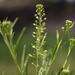 Lepidium densiflorum - Photo (c) aarongunnar, algunos derechos reservados (CC BY)