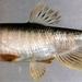 Thickhead Chub - Photo (c) 魚類生態進化研究室, some rights reserved (CC BY-NC)