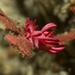 Okenia atkinsonorum - Photo (c) peterdavey,  זכויות יוצרים חלקיות (CC BY-NC)