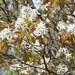 Amelanchier arborea - Photo (c) Bonnie Kinder, alguns direitos reservados (CC BY-NC)