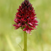 Dark Vanilla Orchid - Photo (c) bathyporeia, some rights reserved (CC BY-NC-ND)