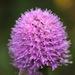 Traunsteinera globosa - Photo (c) orchidsworld, algunos derechos reservados (CC BY-NC-ND)