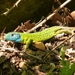Iberian Emerald Lizard - Photo (c) Pablo Torres Luaces, some rights reserved (CC BY-NC-SA)