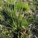 Oryzopsis asperifolia - Photo (c) Rob Routledge, algunos derechos reservados (CC BY-NC)
