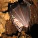 Murciélago Grande de Herradura - Photo (c) Profundezas, algunos derechos reservados (CC BY-NC-ND)