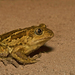 Common Spadefoot - Photo (c) Paul Cools, some rights reserved (CC BY-NC)