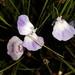 Utricularia livida - Photo (c) Craig Peter, osa oikeuksista pidätetään (CC BY-NC)