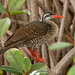 African Finfoot - Photo (c) Paul Cools, some rights reserved (CC BY-NC)