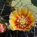 Opuntia camanchica - Photo (c) Diana-Terry Hibbitts, algunos derechos reservados (CC BY-NC)