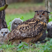 Eurasian Eagle-Owl - Photo (c) Paul Cools, some rights reserved (CC BY-NC)