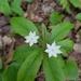 Lysimachia borealis - Photo (c) Mallory S.,  זכויות יוצרים חלקיות (CC BY-NC)