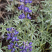Silvery Lupine - Photo (c) Tim Messick, some rights reserved (CC BY-NC)